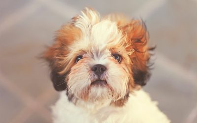 5 Things You Didn't Know About Shit-Tzu's